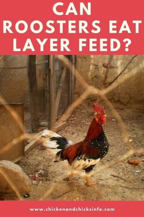 Can Roosters Eat Layer Feed