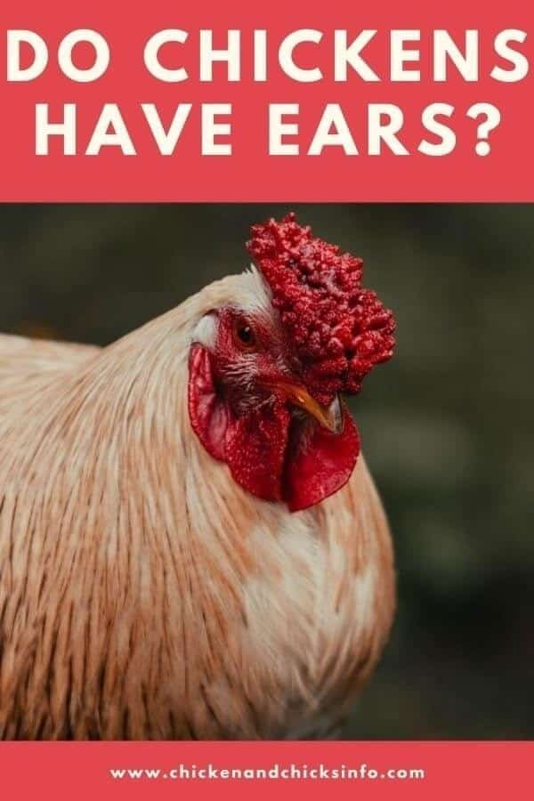 Do Chickens Have Ears