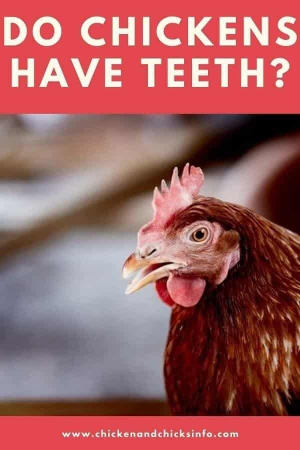 Do Chickens Have Teeth