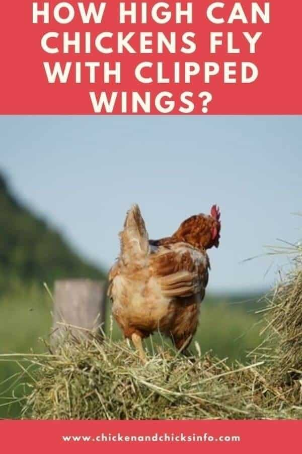 How High Can Chickens Fly With Clipped Wings