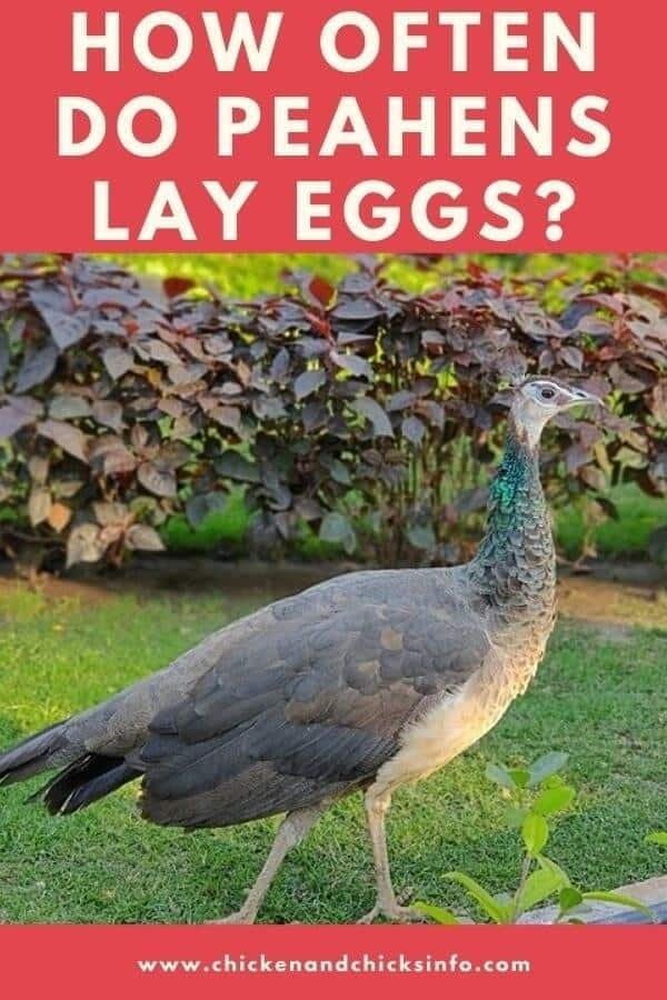 How Often Do Peacocks Lay Eggs