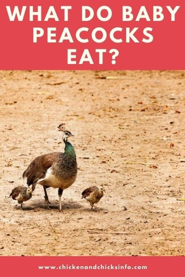 What Do Baby Peacocks Eat