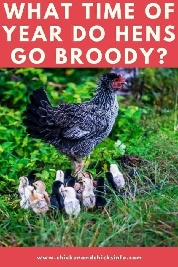 What Time of Year Do Hens Go Broody