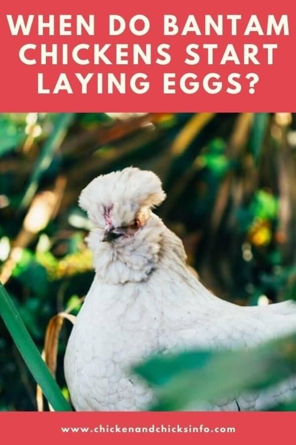 When Do Bantam Chickens Start Laying Eggs
