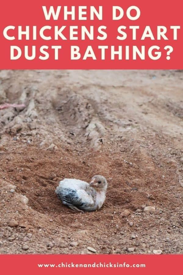 When Do Chickens Start Dust Bathing