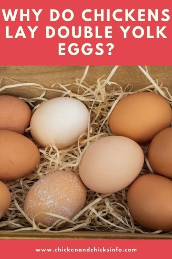 Why Do Chickens Lay Double Yolk Eggs