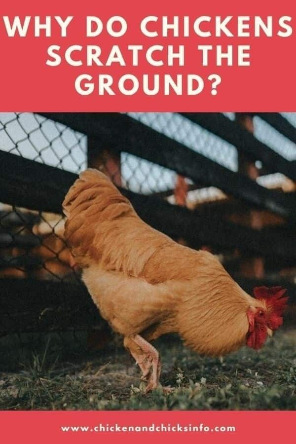 Why Do Chickens Scratch the Ground