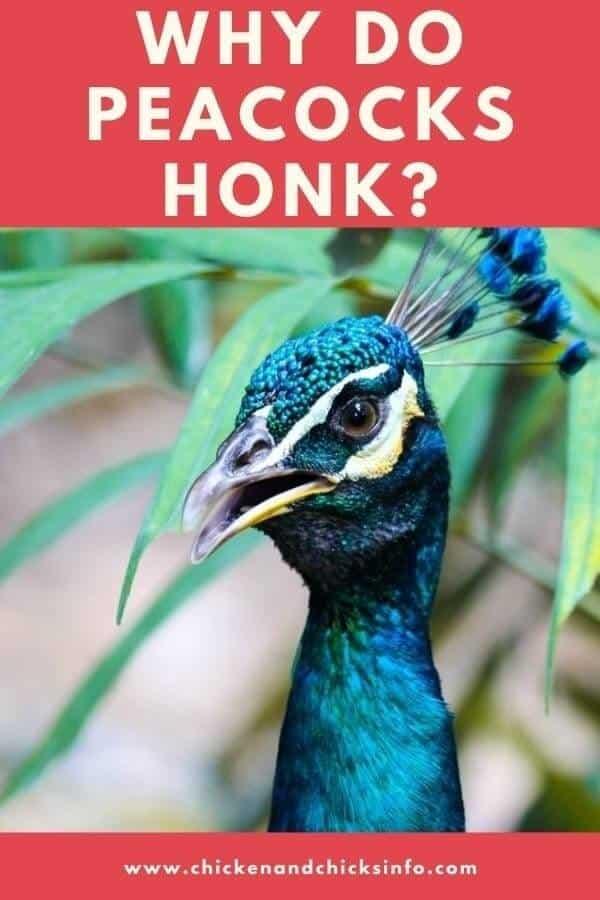 Why Do Peacocks Honk