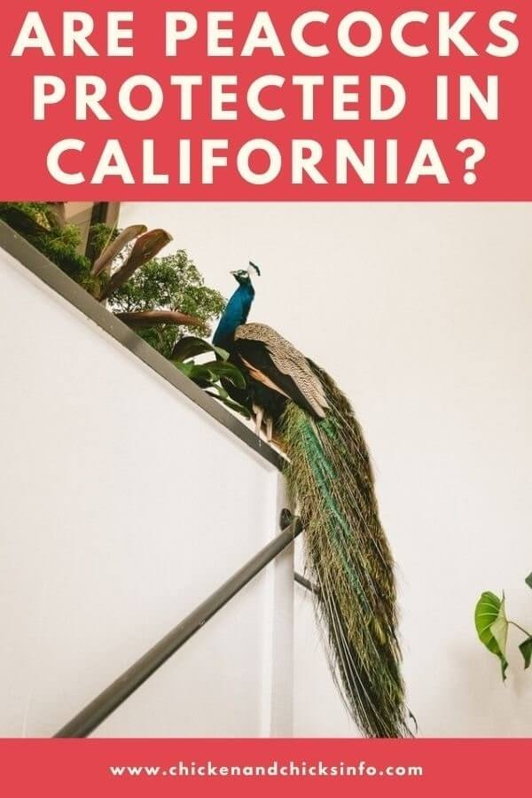 Are Peacocks Protected in California