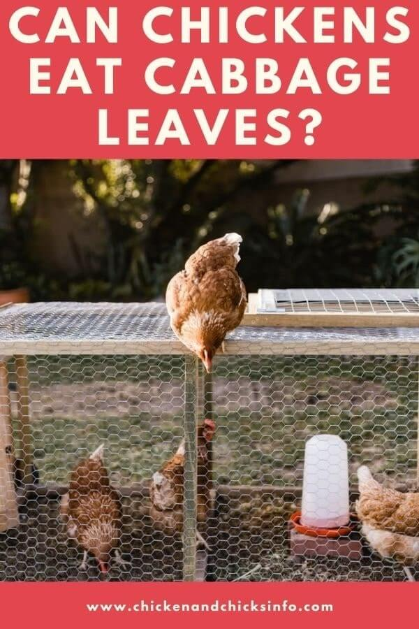 Can Chickens Eat Cabbage Leaves