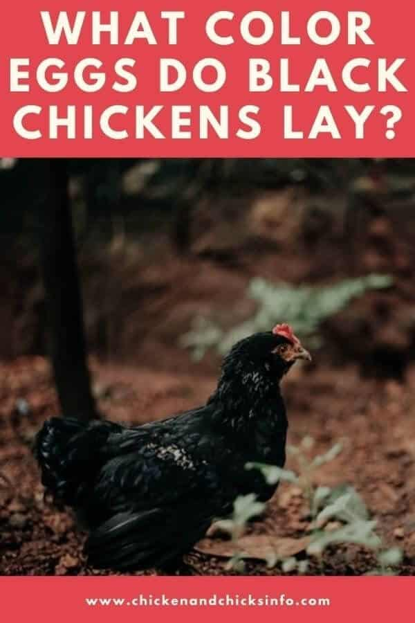 What Color Eggs Do Black Chickens Lay