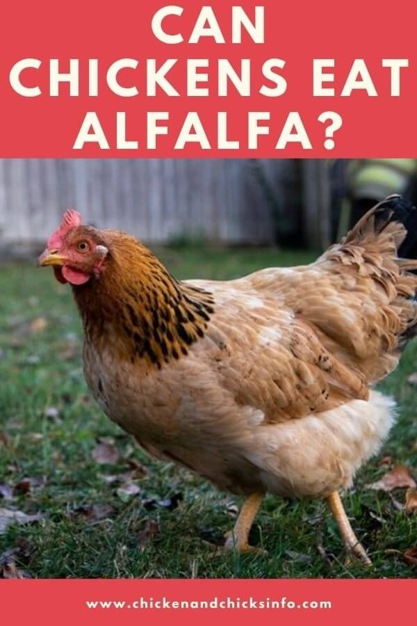 Can Chickens Eat Alfalfa