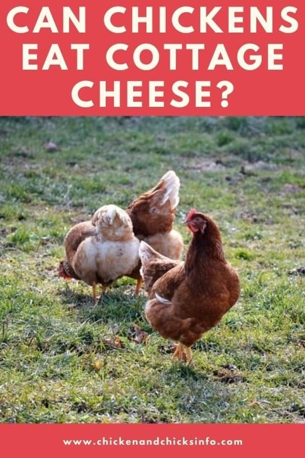 Can Chickens Eat Cottage Cheese