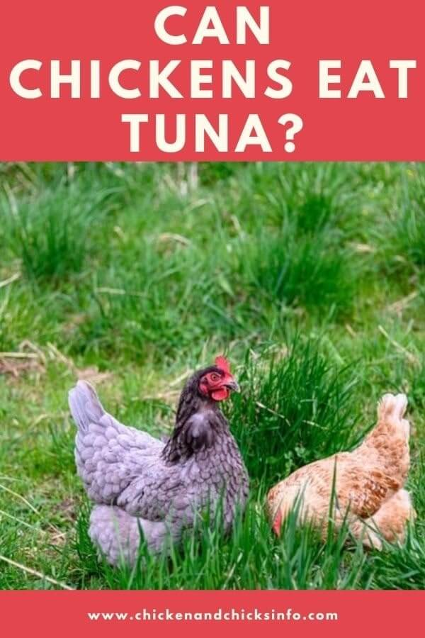 Can Chickens Eat Tuna