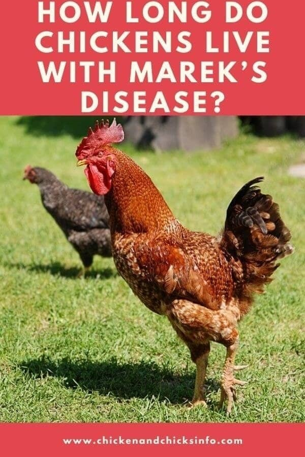 How Long Do Chickens Live With Mareks Disease
