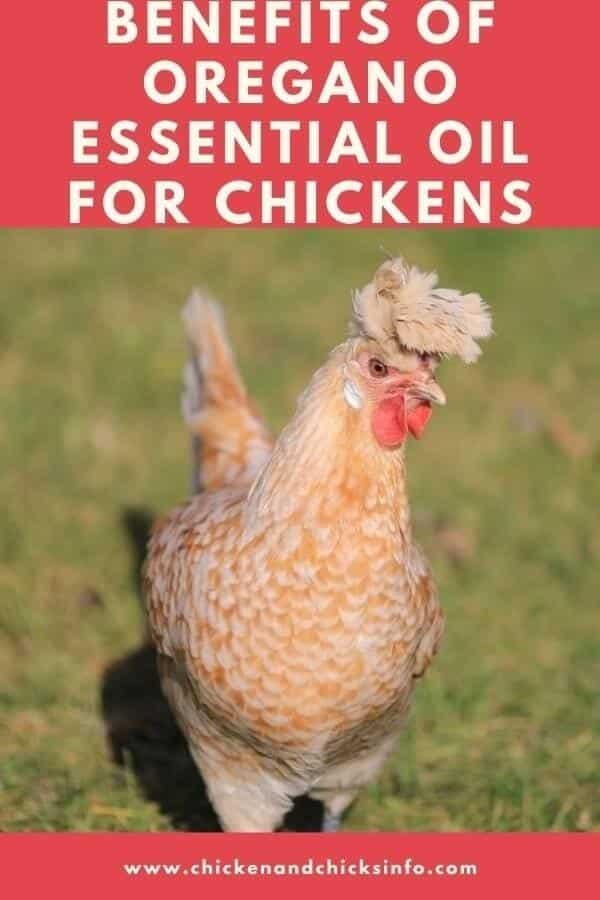 Oregano Essential Oil for Chickens
