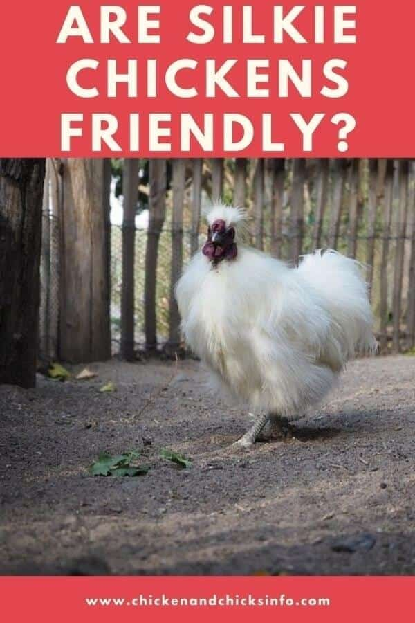 Are Silkie Chickens Friendly