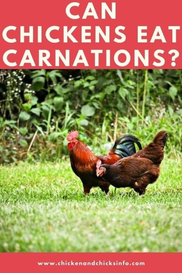 Can Chickens Eat Carnations