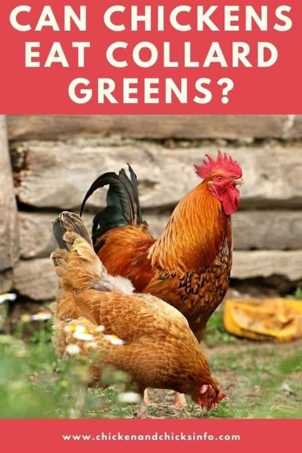 Can Chickens Eat Collard Greens
