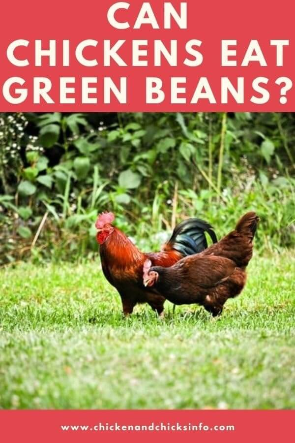 Can Chickens Eat Green Beans
