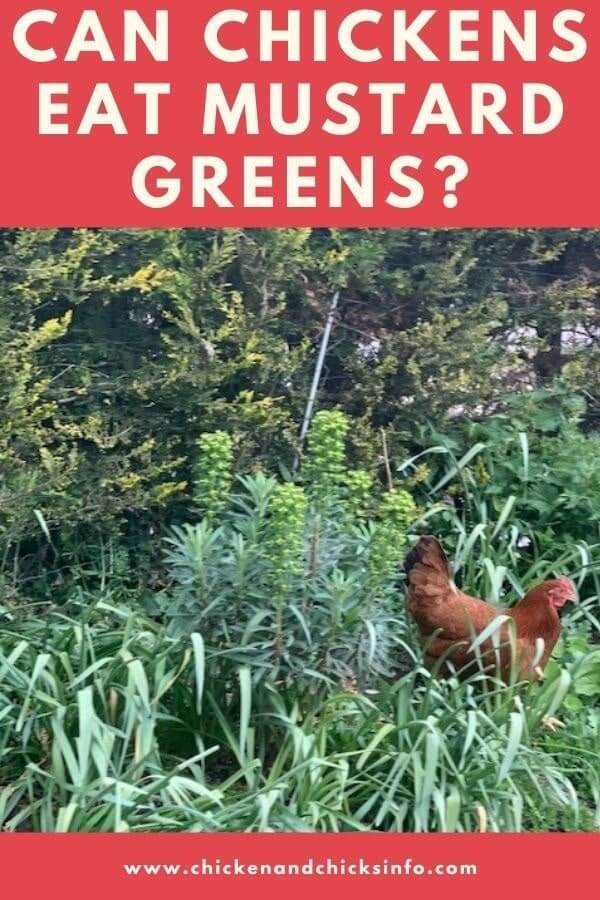 Can Chickens Eat Mustard Greens