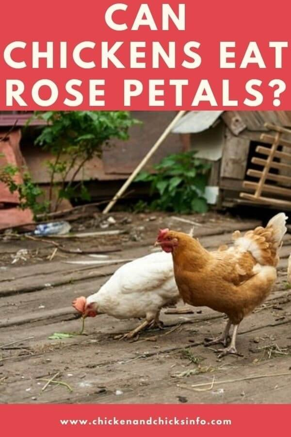 Can Chickens Eat Rose Petals