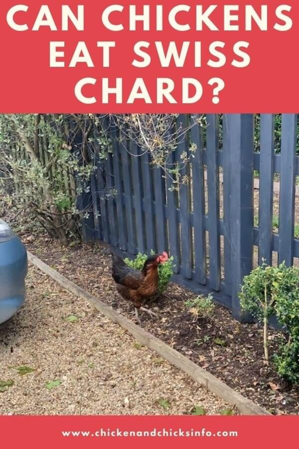 Can Chickens Eat Swiss Chard