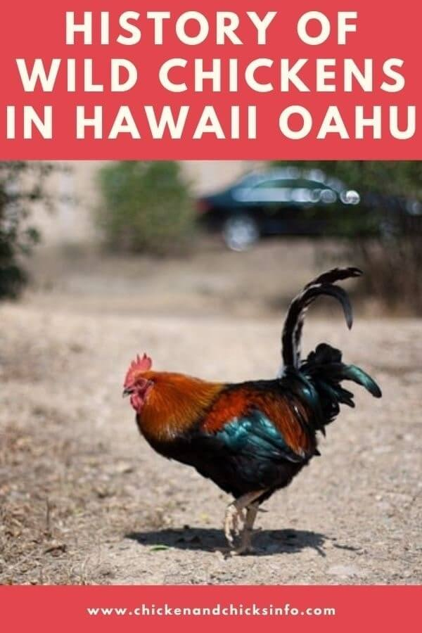 Chickens in Hawaii Oahu