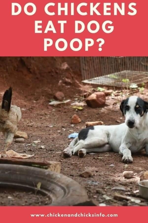 Do Chickens Eat Dog Poop