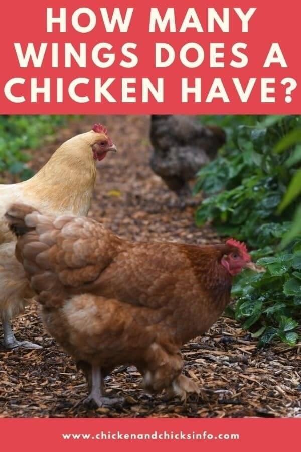 How Many Wings Does a Chicken Have